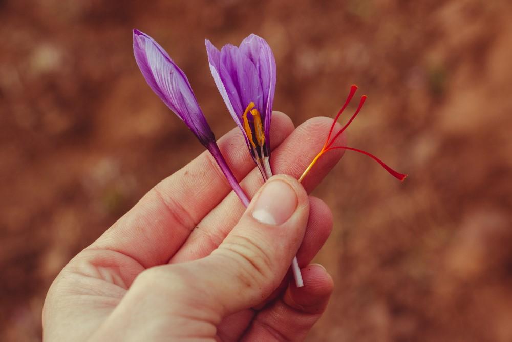 Květ krokusu setého s vytrženou čnělkou - čerstvým nezpracovaným šafránem